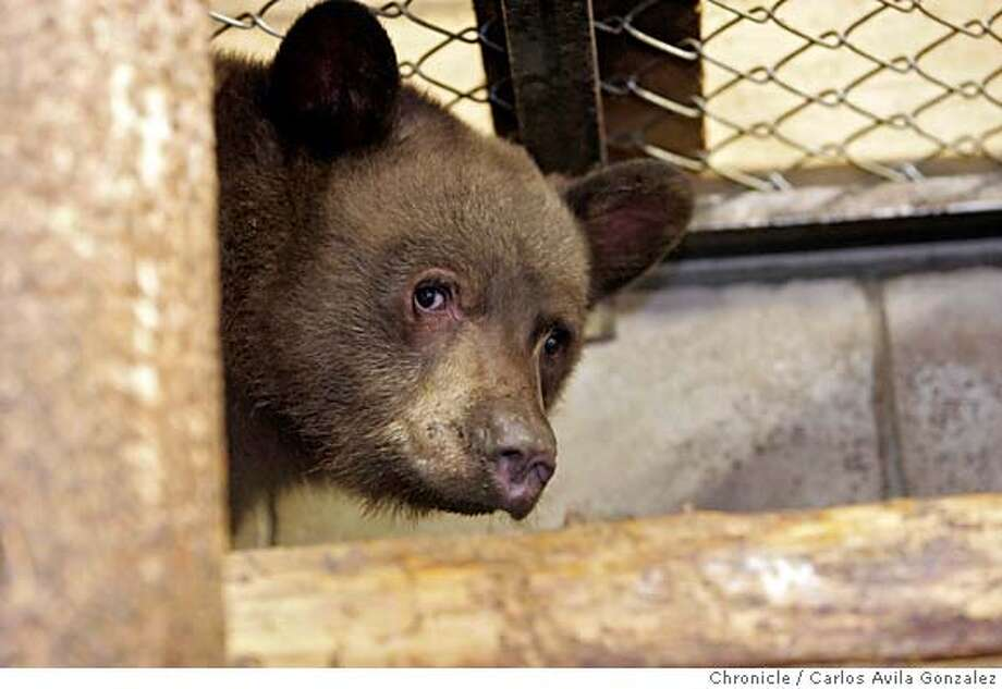 BEARLADY_019_CAG.JPG  Solo the black bear cub in his pen at the TK Wildlife Rehabilitation center in Meyers, Ca., where he is the only cub in the State of California officially being raised to be relocated in February. California has only one such rehabilitation facility for black bear cubs. Ann Bryant looks for and removes black bears from homes in the Lake Tahoe region, that have taken to hibernating under people's houses. For years, black bears have been part of the landscape of living near Lake Tahoe, and locals have formed a steady relationship with the wild creatures. But recently, activists have seen more and more black bears killed because the bears have lost their fear of man, even hibernating under homes in populated areas and becoming accustomed to feeding from trash and people's refrigerators.  Photo by Carlos Avila Gonzalez/The San Francisco Chronicle  Photo taken on 12/15/06, in Lake Tahoe , Ca, USA.  **All names cq (source) MANDATORY CREDIT FOR PHOTOG AND SAN FRANCISCO CHRONICLE/ -MAGS OUT Photo: Carlos Avila Gonzalez