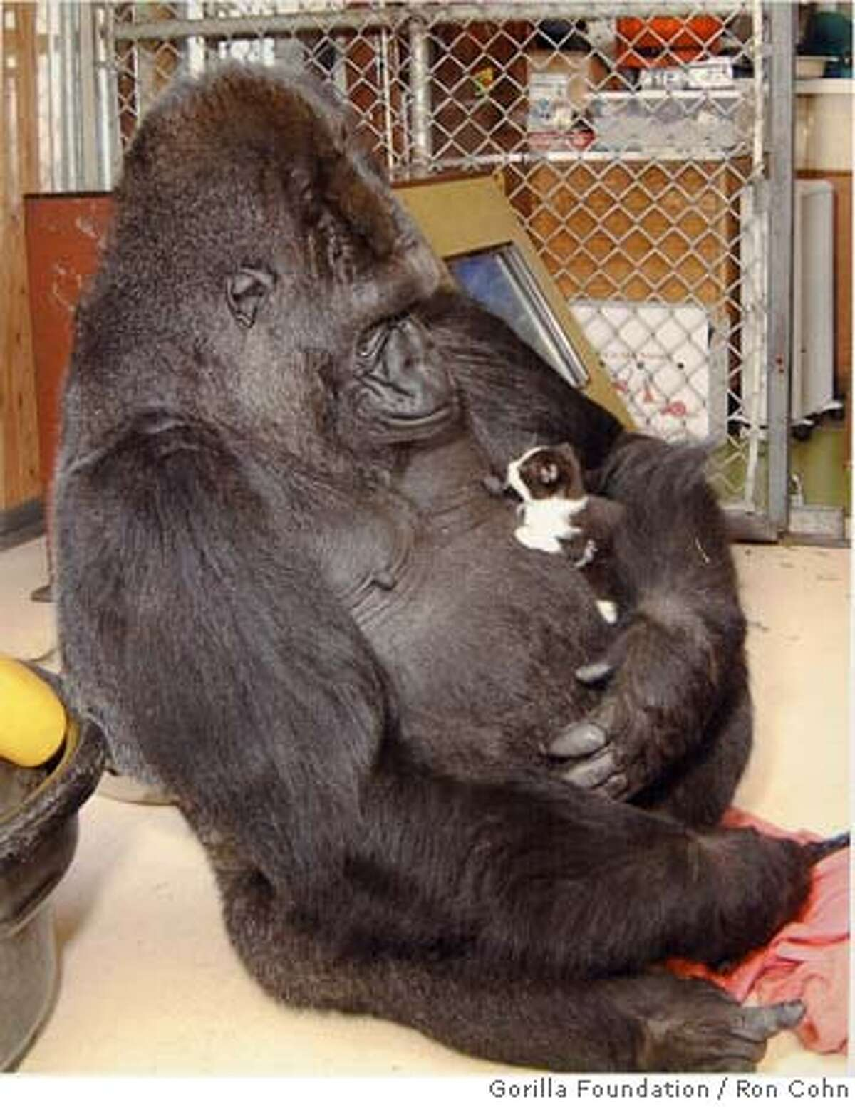 Koko is shown in 2000 holding a kitten, one of many pets the gorilla has had in her years at the Gorilla Foundation.