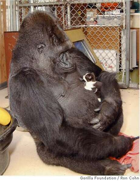 Koko is shown in 2000 holding a kitten, one of many pets the gorilla has had in her years at the Gorilla Foundation. Photo: Ron Cohn
