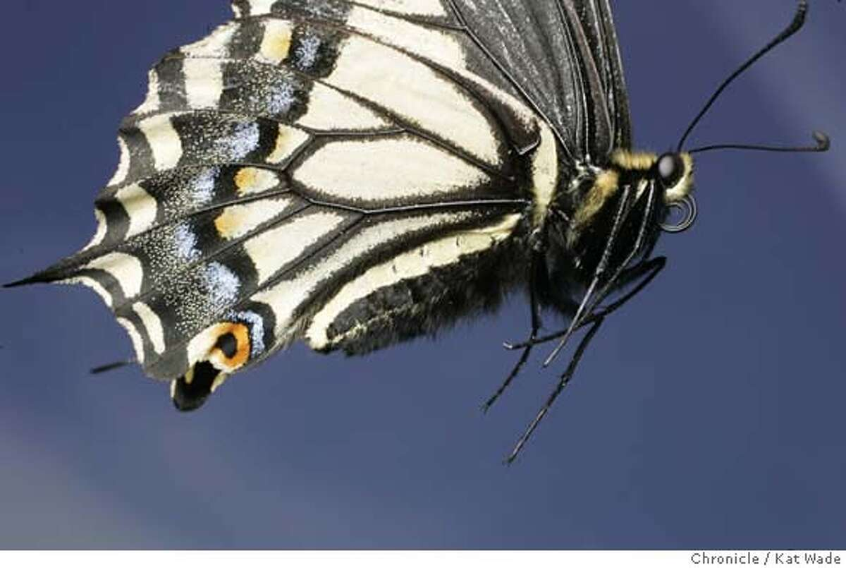GLOBAL_BUTTERFLIES_591_KW_.jpg Papilio zelicaon Anise Swallowtail butterfly with its proboscis (a strawlike tongue) curled up tight shot in Oakland, Ca, but flown in from Asland, Or. on June 2, 2006.. Kat Wade/The Chronicle ** Mandatory Credit for San Francisco Chronicle and photographer, Kat Wade, Mags out
