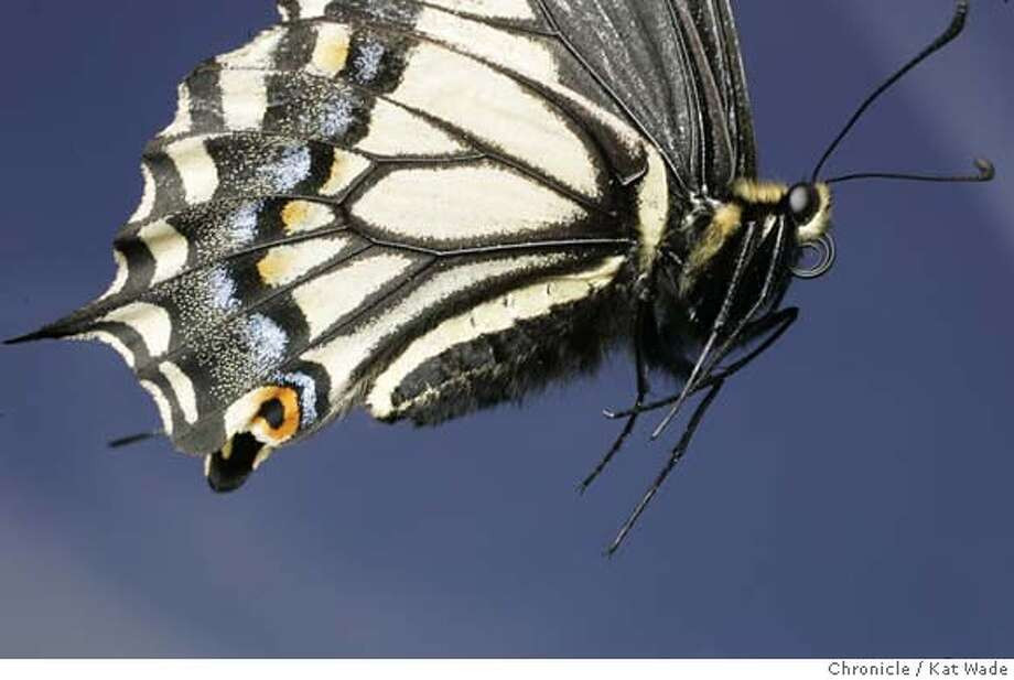 GLOBAL_BUTTERFLIES_591_KW_.jpg Papilio zelicaon Anise Swallowtail butterfly with its proboscis (a strawlike tongue) curled up tight shot in Oakland, Ca, but flown in from Asland, Or. on June 2, 2006..  Kat Wade/The Chronicle ** Mandatory Credit for San Francisco Chronicle and photographer, Kat Wade, Mags out Photo: Kat Wade