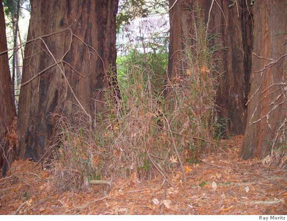 Redwood basal sprouts can be a nuisance, and unsightly, particularly when they become infected with the sudden oak death fungus, like the sprouts shown. Photo by Ray Moritz