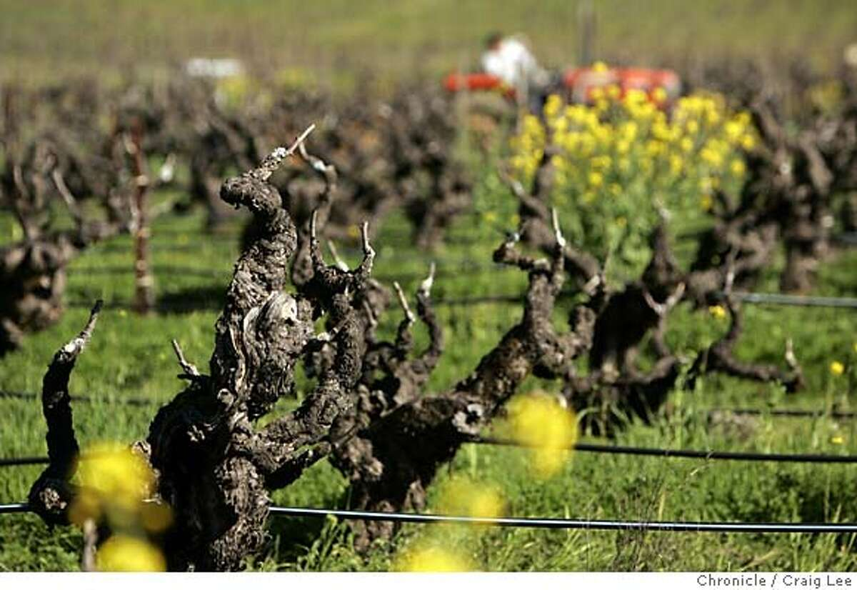DRAPER17_140_cl.JPG Ridge Vineyards' Lytton Springs Winery in Healdsburg, recently built of eco-friendly straw bales. Photo of the old Zinfandel vines. Event on 2/2/05 in Healdsburg. MANDATORY CREDIT FOR PHOTOG AND SF CHRONICLE/ -MAGS OUT