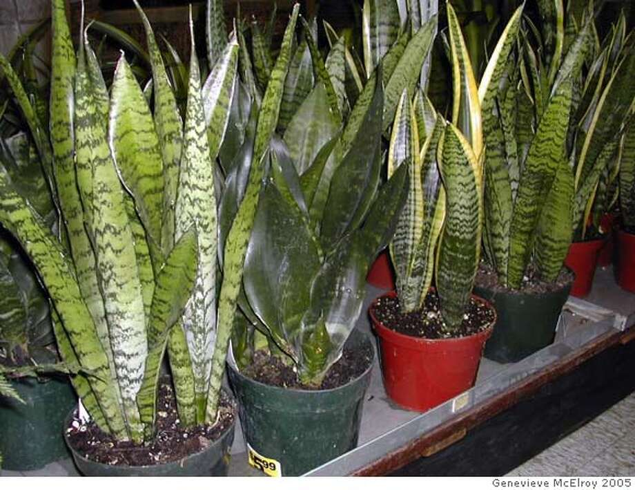 Sansevieria can tolerate various amounts of light, from direct sun to low light. In low-light conditions the leaves will be less striped. Photo, 2005, by Genevieve McElroy