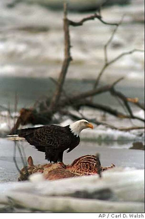 A bald eagle roosts on a dead deer in Maine. More and more, people are finding usefulness in roadkill on America's byways. Associated Press file photo, 1998, by Carl D. Walsh