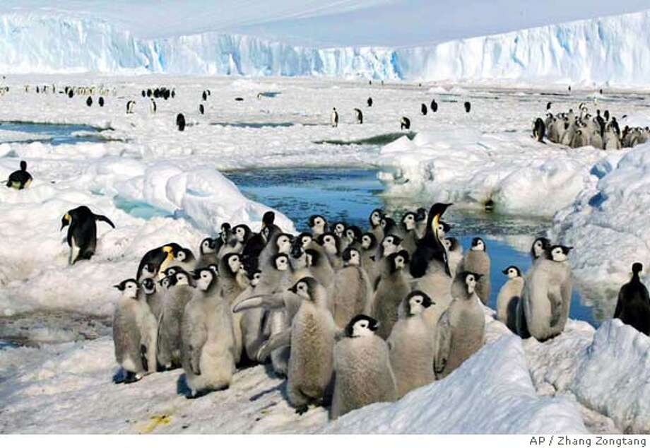 China's Xinhua News Agency released this photo Monday, Jan. 23, 2006, shows crowds of emperor penguins on the ice in Antarctica on December 21, 2005. (AP Photo /Xinhua, Zhang Zongtang) XINHUA PHOTO Photo: ZHANG ZONGTANG