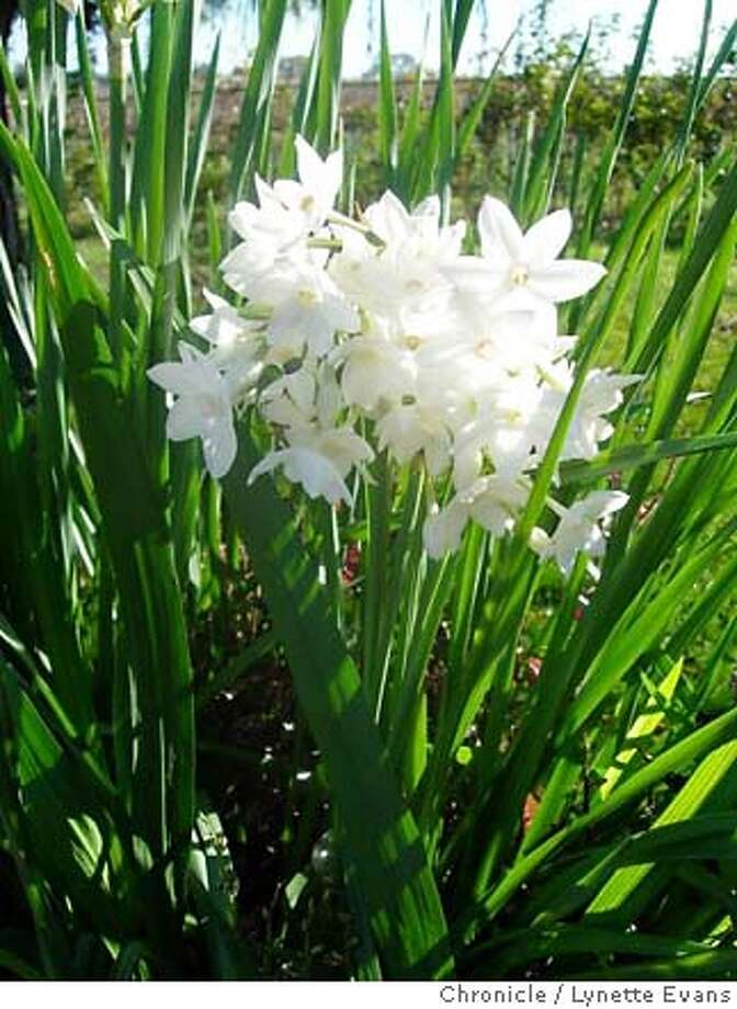 Spectacular outdoors, paperwhites can be forced to bloom early indoors. Their fragrant blooms are a winter tradition for many. Chronicle photo by Lynette Evans
