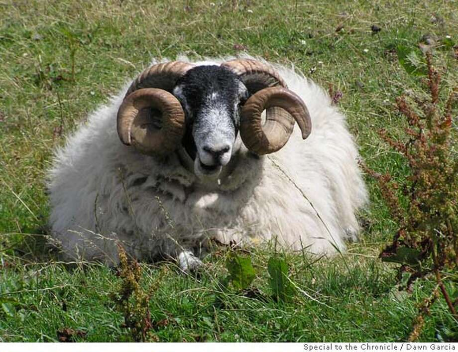 This Scottish ram seems quite comfortable, lounging around in a chilly coastal wind while wearing his all-natural wool sweater. Photo by Dawn Garcia/Special to The Chronicle Photo: Dawn Garcia/Special To The Chron