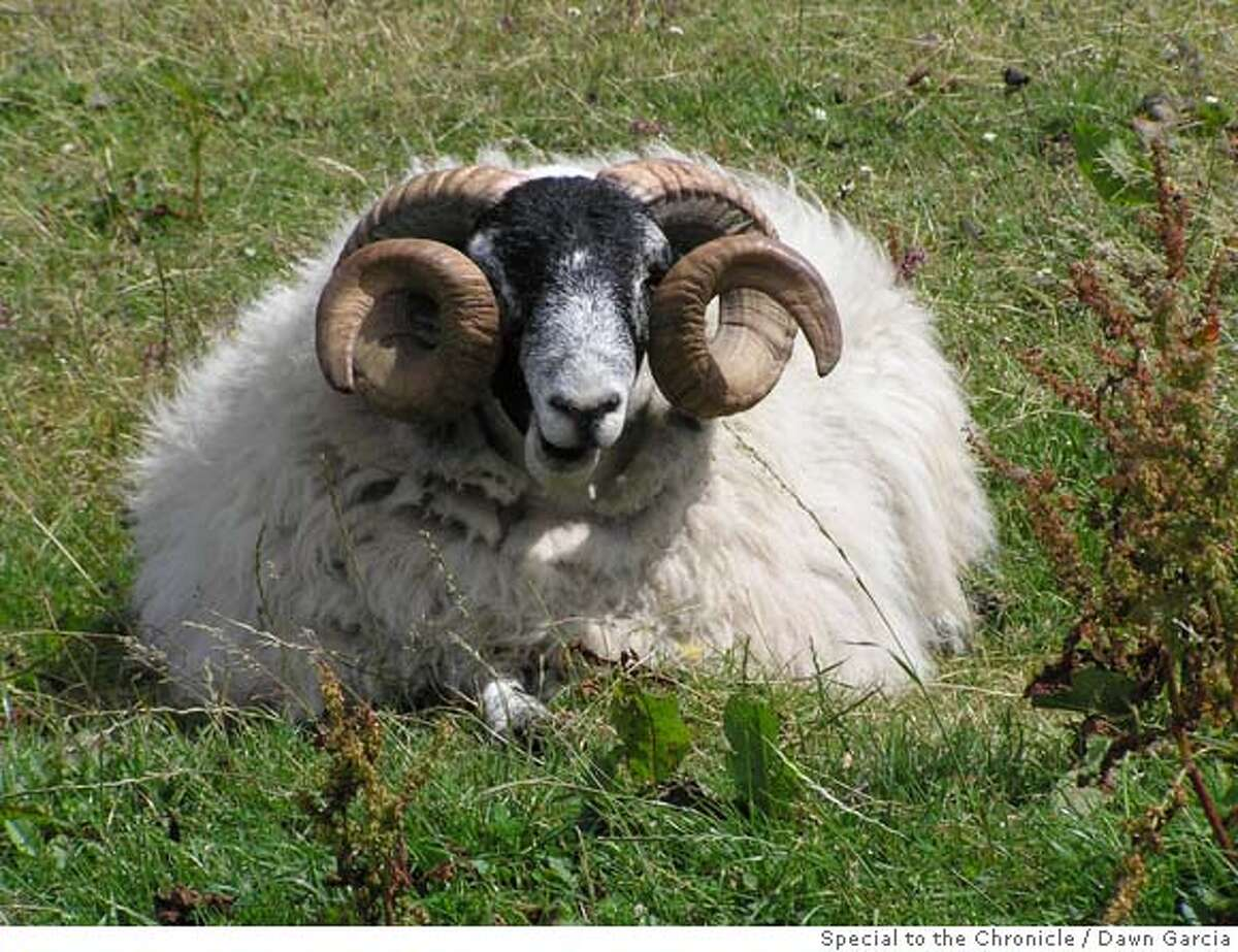 This Scottish ram seems quite comfortable, lounging around in a chilly coastal wind while wearing his all-natural wool sweater. Photo by Dawn Garcia/Special to The Chronicle