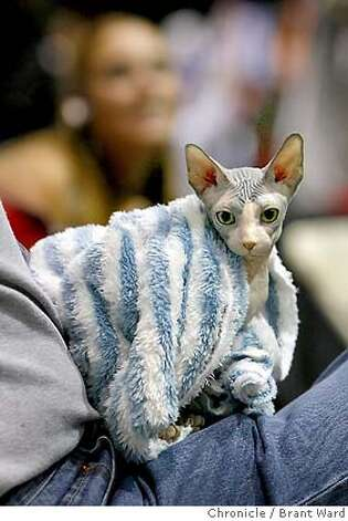 "catparty190.JPG  A five month old winner at the cat show, ""Turbo"" gets warm in his owners lap. Turbo is a Sphynx from Bend, Oregon.  The 19th annual Cat Fanciers"" Association cat show was held at the San Mateo County Expo over the weekend. More than 750 cats representing 41 breeds attracted cat fanciers from all over the nation. This is the most prestigious competition in the pedigreed cat world.  {Brant Ward/San Francisco Chronicle}11/19/06 Photo: Brant Ward"