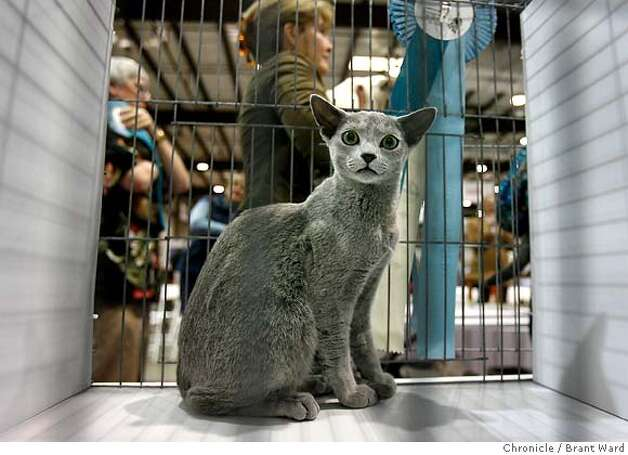 This Russian Blue won the kitten judging in this segment...he waited for his owner to retrieve him.  The 19th annual Cat Fanciers show was held at the San Mateo Expo last weekend. The three-day event showcases 750 cats representing 41 breeds.  {Brant Ward/San Francisco Chronicle}11/19/06 Photo: Brant Ward