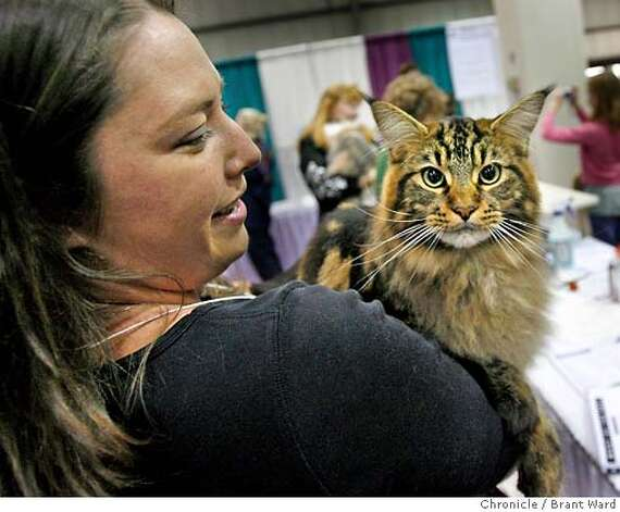 An unidentified lady holds her Maine Coon, one of the most popular of the breeds at the show.  The 19th annual Cat Fanciers show was held at the San Mateo Expo last weekend. The three-day event showcases 750 cats representing 41 breeds.  {Brant Ward/San Francisco Chronicle}11/19/06 Photo: Brant Ward
