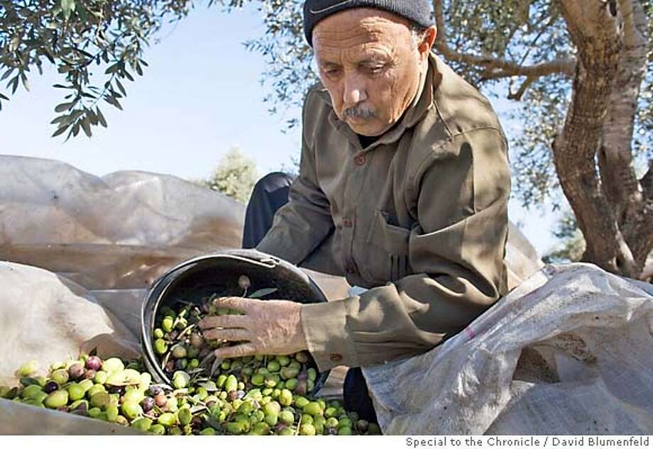 2006-10-31-Deir al Ghusun, West Bank: Abdullah Abdel Khader Khatib, 70, gathers olives from his tree which he picked in his olive grove which was divided by the separation fence. David Blumenfeld/Special to The Chronicle NO MAGS, , NO TV Photo: David Blumenfeld