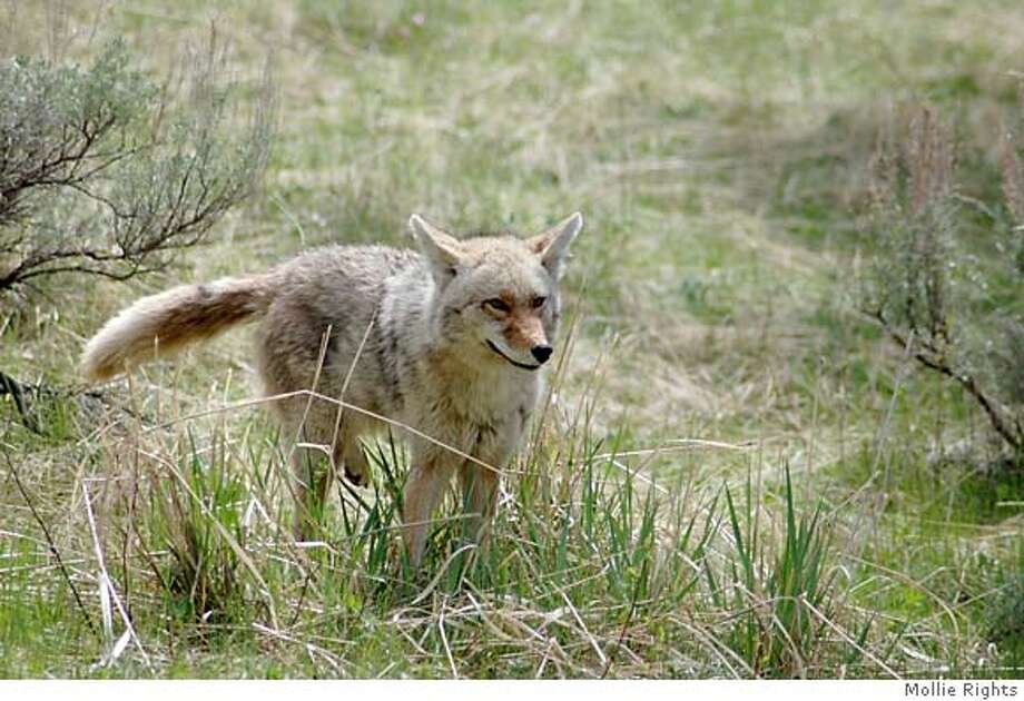 Coyotes are becoming more commonplace in urban areas. Credit: Mollie Rights Photo: Mollie Rights