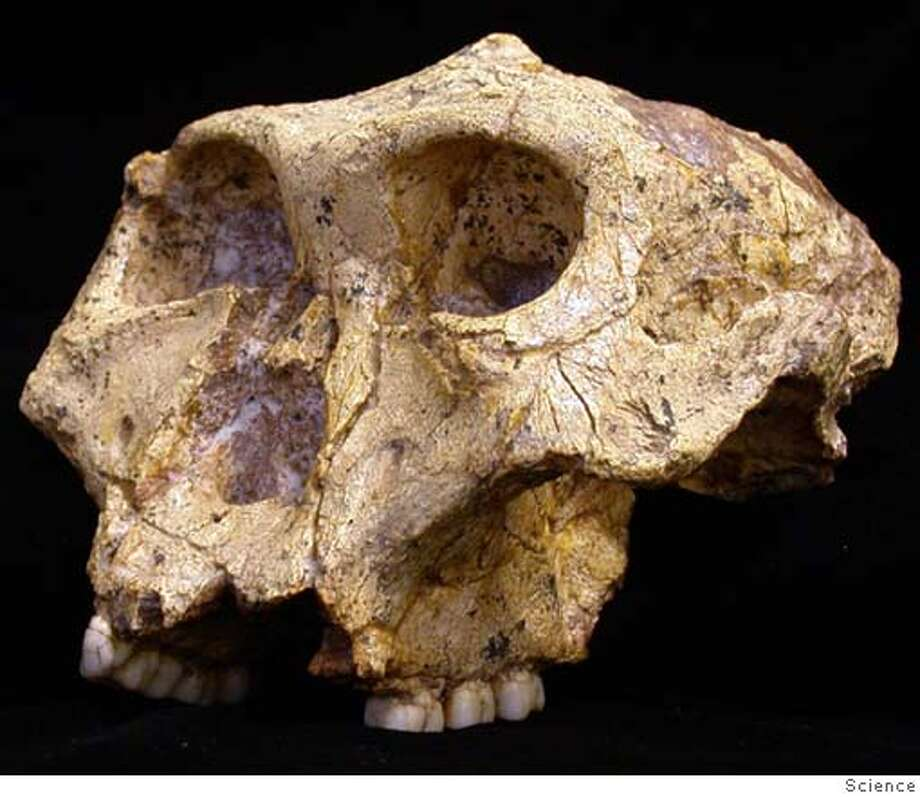 The skull of a bipedal hominid Paranthropus robustus is pictured in this undated photograph. The early human relative from 1.8 million years ago dined on the prehistoric equivalent of a smorgasbord -- fruit, nuts, roots, leaves and perhaps meat, according to a study that casts doubt on a key theory about its demise. NO ACHIVES REUTERS/Journal Science/Handout Photo: HO