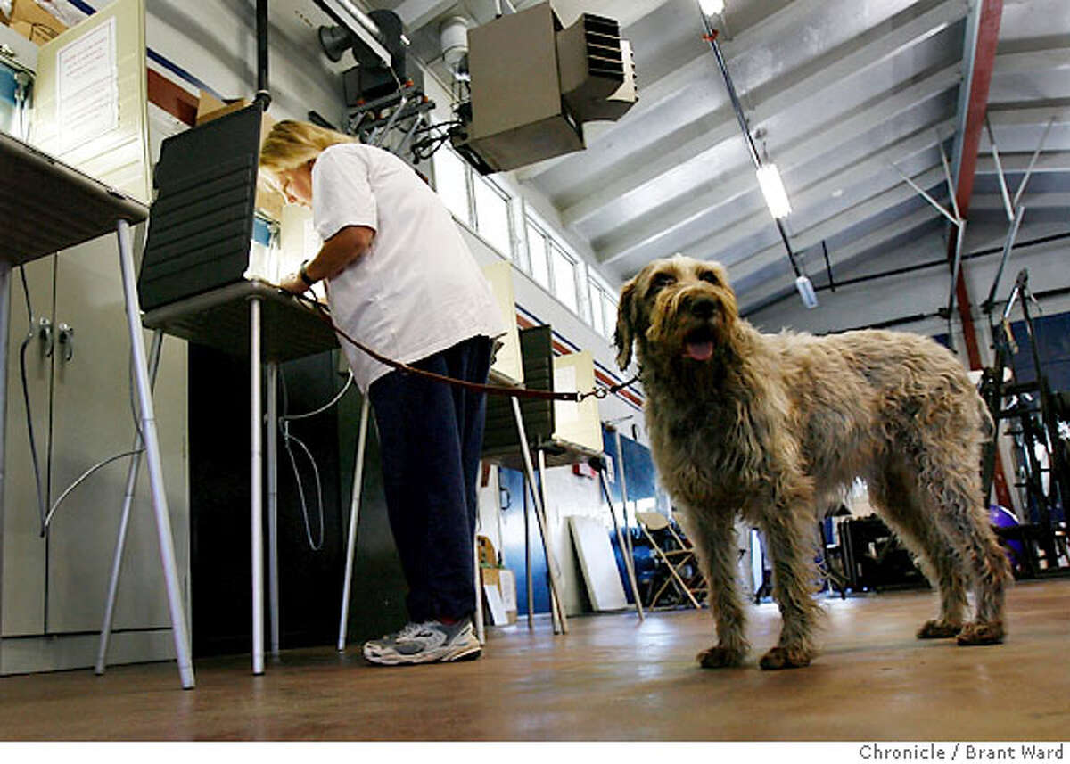 At the Ross Valley fire station off Butterfield Road, Helena Madsen brought her 12 year old international champion wire-haired pointer to vote. She loves voting at the fire station where her dog is perfectly welcome. Polling places in Marin County reported relatively low turnouts, but plenty of absentee voters stopping to drop off their ballots. A warm, breezy day didn't make the weather a factor Tuesday...{Brant Ward/San Francisco Chronicle}11/7/06