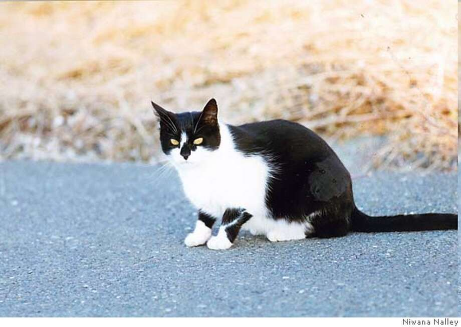 Tuxedo was a feral cat beloved of Uncle Nicky, who fed wild cats for 23 years. Photo by Niwana Nalley