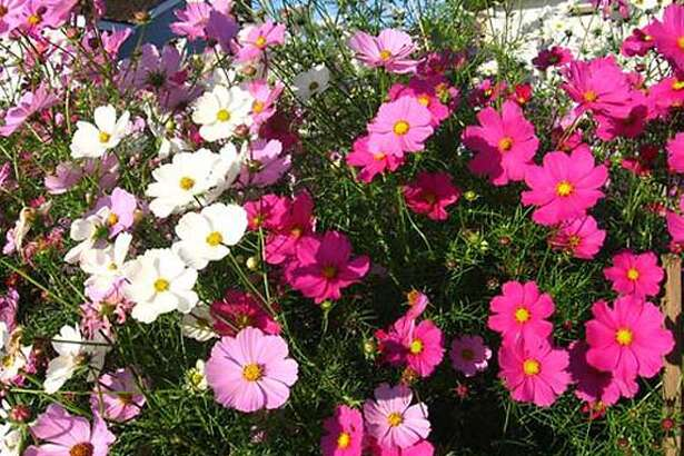 A sunny burst of cosmos in San Jose. Photo by P.G. Rajendran