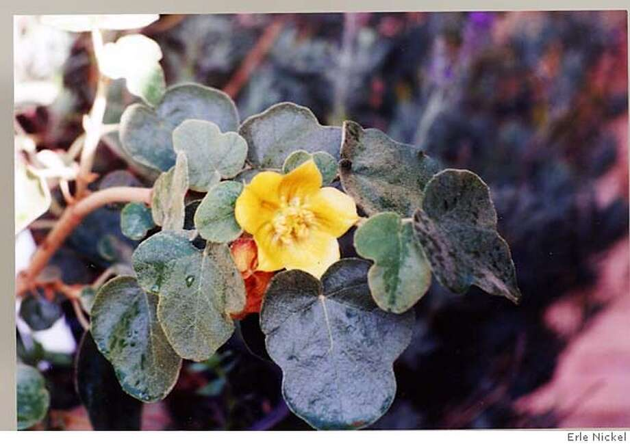 Fremontodendron californicum produces saucer-shaped flowers. Photo by Erle Nickel