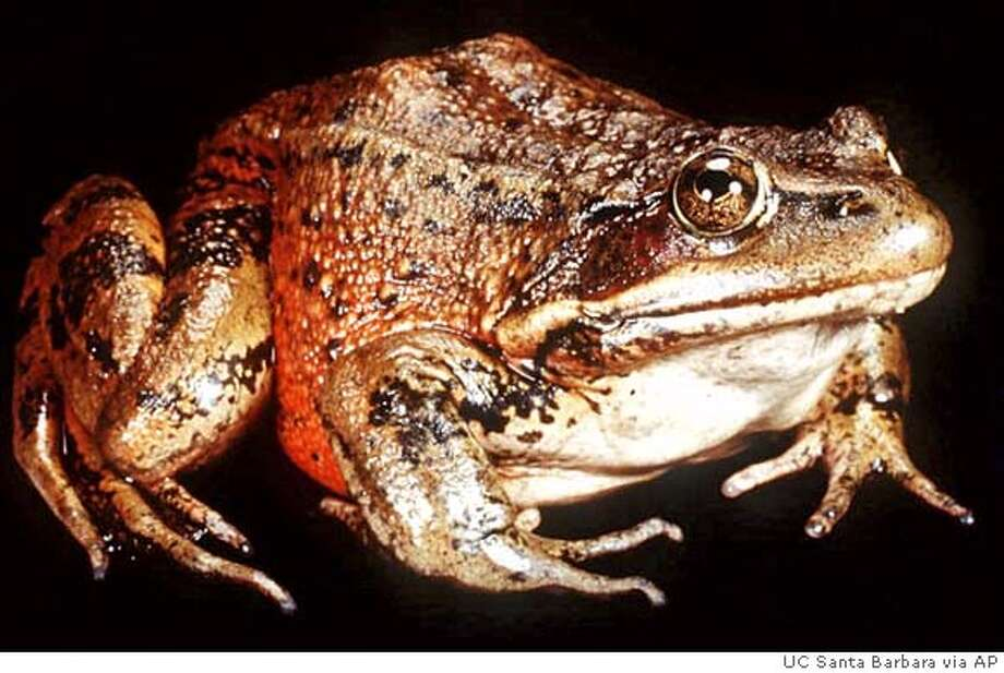 "FILE--Celebrated for its jumping and protected for its rarity, the California red-legged frog, seen here in an undated file photo, wins critical habitat designation on 4 million acres of the state. In mapping chunks of the state where developers will face federal restrictions, the U.S. Fish & Wildlife Service scaled back its initial plan by 1.3 million acres, eliminating the county where Mark Twain set his classic ""The Celebrated Jumping Frog of Calaveras County."" (AP Photo/University of California, Santa Barbara, File). ALSO RAN 4/3/02, 06/29/02 CAT Photo: Associated Press"