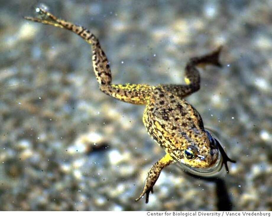 FILE--A mountain yellow-legged frog is shown in this undated file photo. Conservationists urged the Fish and Wildlife Service to order Endangered Species Act protection for two amphibians in the Sierra, the mountain yellow-legged frog and the Yosemite toad. The center filed the petition for protection of the toad on Monday, Feb. 28, 2000, along with the Pacific Rivers Council, based in Eugene, Ore. The two filed a similar petition for protection of the Sierra Nevada population of the frog earlier this month. (AP Photo/Center for Biological Diversity, Vance Vredenburg) ALSO RAN 1/17/03 Rainbow trout love to feed on tadpoles in Sierra lakes, Vance Vredenburg has found after eight years of study. also ran 05/13/04 CAT Photo: VANCE VREDENBURG