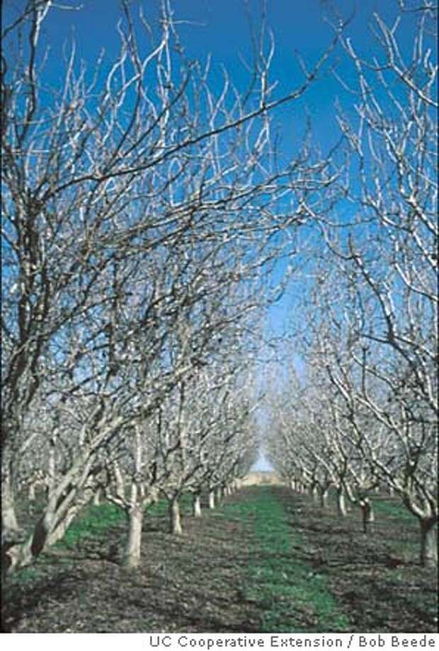 Pistachio trees await machine pruning. UC Cooperative Extension photo by Bob Beede