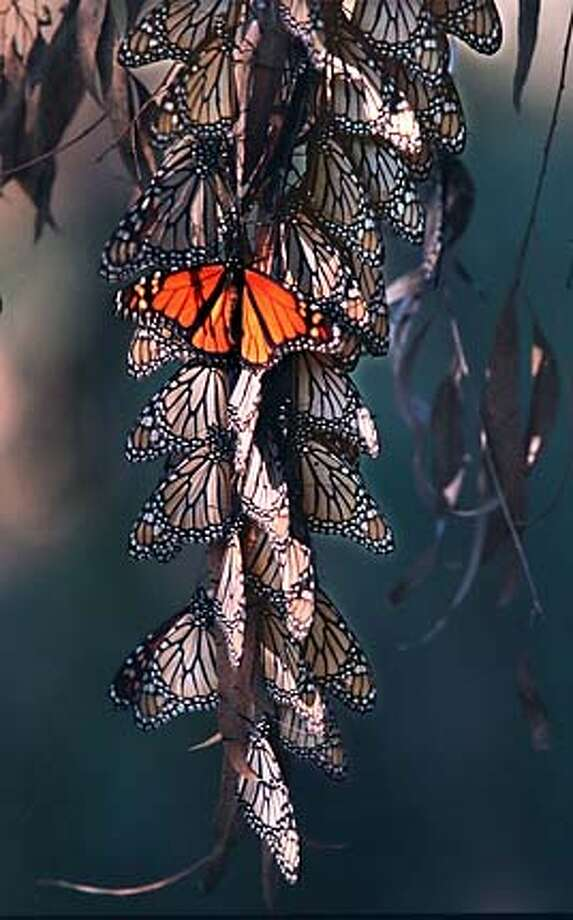 Like grapes, monarch butterflies are sensitive to environmental changes. Chronicle file photo, 2000, by Vince Maggiora