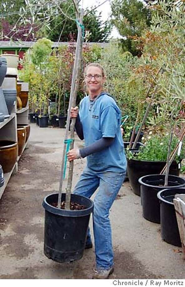 "The root ball should stay firm and intact when you lift and shake. This tree passed the pick it up and shake it test, thanks to ""Earthequake Ethel"" of the Sloate Garden Center. Photo: Ray Moritz"