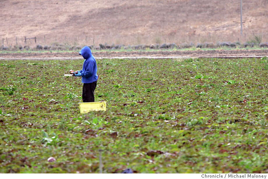 A farm worker trims picked lettuce directly across the street from Earthbound Farm in San Juan Bautista.  The FBI and FDA officials raided two produce growers and processing offices Wednesday morning - Growers Express office in Salinas and Earthbound Farms in San Juan Bautista - looking for evidence in connection with the spinach E. coli outbreak. Total reported cases of illness tied to E. coli-contaminated spinach have now reached 192, spread through 26 states and Ontario, Canada. Photo by Michael Maloney / San Francisco Chronicle on 10/4/06 in San Juan Bautista,CA Photo: Michael Maloney