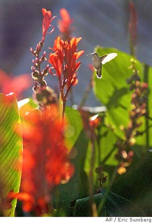 A hummingbird flutters next to the flowers of a canna plant. Associated Press photo by Eric Sumberg