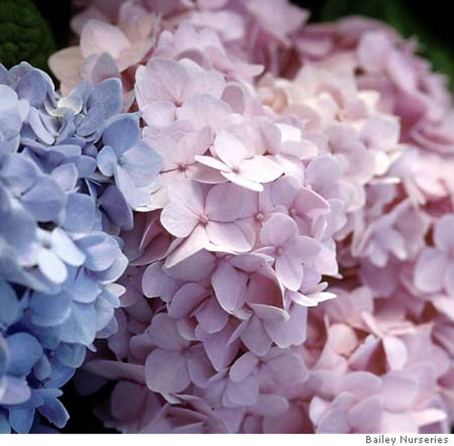 Hydrangea 'Endless Summer' blue and pink. Credit: Bailey Nurseries 2004 Photo: Bailey Nurseries 2004