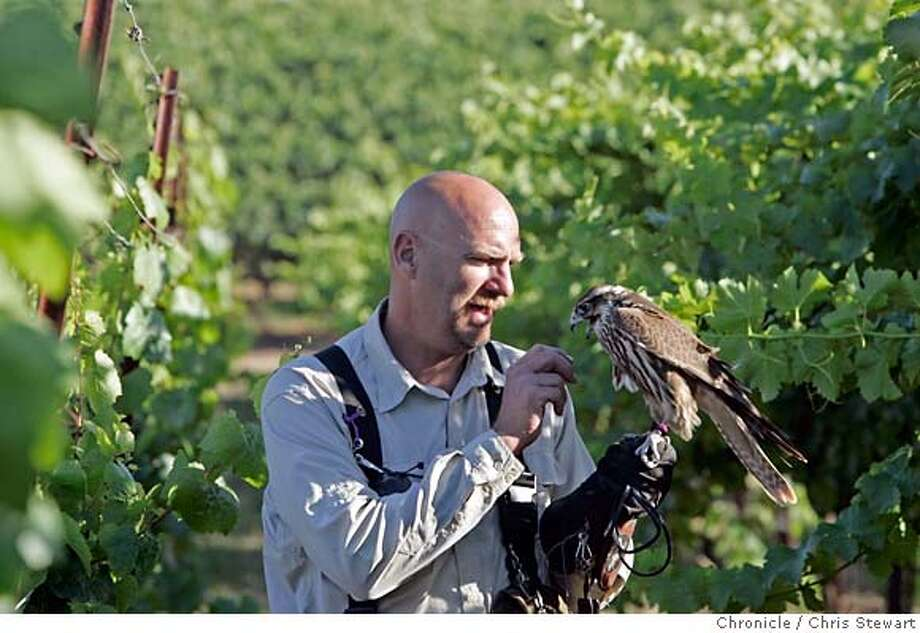 falcon19_301_cs.jpg Event on 9/15/06 in Healdsburg. Falstaff, a six-month-old Saker Falcon gets some attention from falconers Jim Tigan, 48, in the vineyard of Greg Herrick, co-owner of Herrick Vineyards in Healdsburg. Herrick is using falcons to protect his ripening grapes from other birds. Falconers Tigan and Kate Marden, 48, of Grass Valley employ several falcons to harass starlings and other troublesome birds, driving them from the grapevines. Chris Stewart / The Chronicle Herrick Vineyards, falcon MANDATORY CREDIT FOR PHOTOG AND SF CHRONICLE/ -MAGS OUT Photo: Chris Stewart