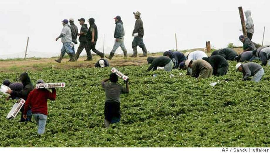 Farm workers pick strawberries at a field in Carlsbad, CA on Saturday, April 1, 2006. At issue on the immigration controversy is a debate over a proposal that would legalize an estimated 11 million illegal immigrants in the United States and expand guest worker programs for an estimated 400,000 immigrants each year.(AP Photo/Sandy Huffaker) Photo: SANDY HUFFAKER
