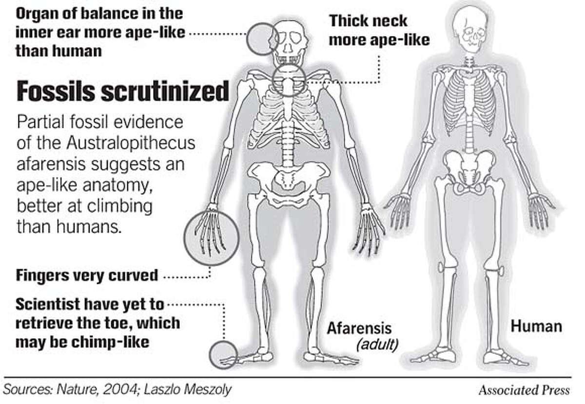 Fossils Scrutinized. Associated Press Graphic
