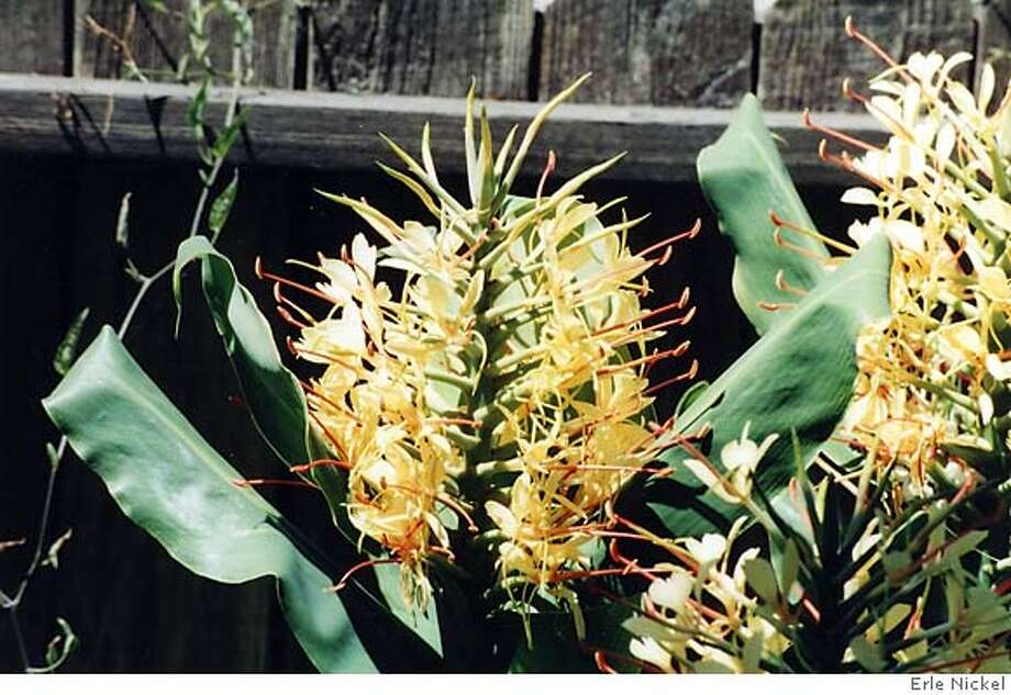 A sunny, sheltered spot suits hedychium or tropical ginger. This plant is not edible but its festive appearance is pleasing. Photo by Erle Nickel