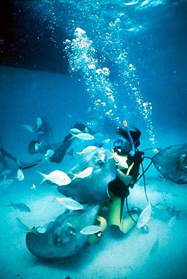A scuba diver swims with stingrays at Stingray City, a popular attraction near Grand Cayman in the Cayman Islands. Photo courtesy Cayman Islands Dept. of Tourism