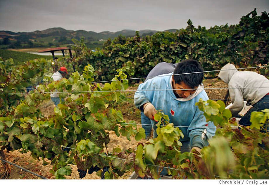 HARVEST15_243_cl.JPG  Grape harvest at Domiane Carneros. They are harvesting Pinot Noir for their sparkling wines.  Craig Lee / The Chronicle MANDATORY CREDIT FOR PHOTOG AND SF CHRONICLE/ -MAGS OUT Photo: Craig Lee