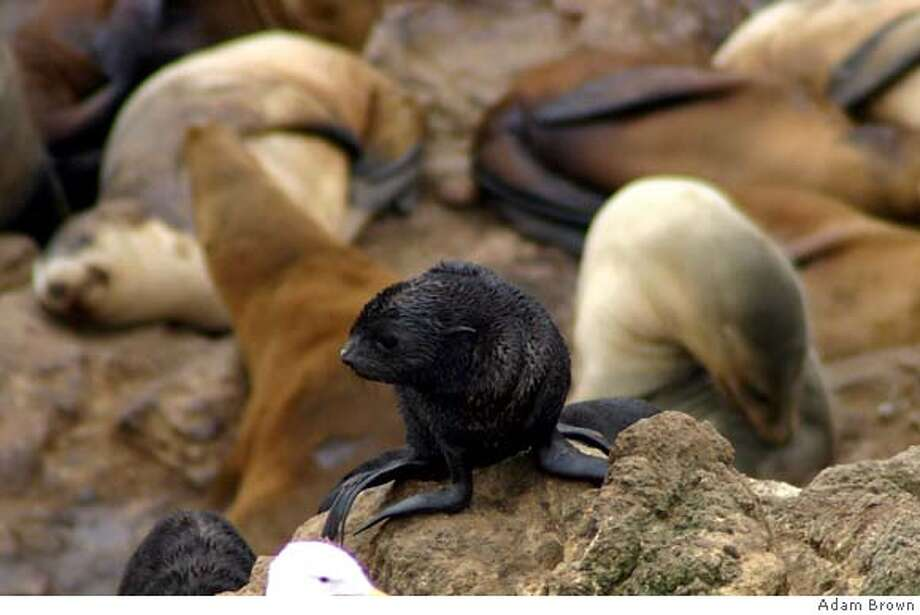 Fur seal photos taken by Adam Brown on South East Farallon Island in August of 2005. Photo: Adam Brown