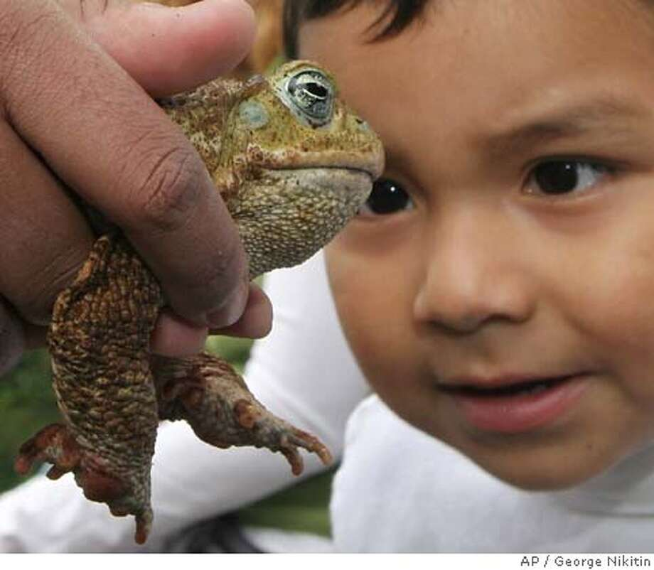 In this photo released by the San Francisco Zoo, Kenny Ramirez, 3, appears captivated by a Marine Toad on Sunday, Sept. 10, 2006, at the San Francisco Zoo in San Francisco. San Francisco Zoo held its' first Latino Heritage Celebration, empowering youth to celebrate their Latino heritage through music, dancing, crafts and learning about native Latin American animals. (AP Photo/San Francisco Zoo, George Nikitin) PHOTO PROVIDED BY SAN FRANCISCO ZOO Photo: GEORGE NIKITIN