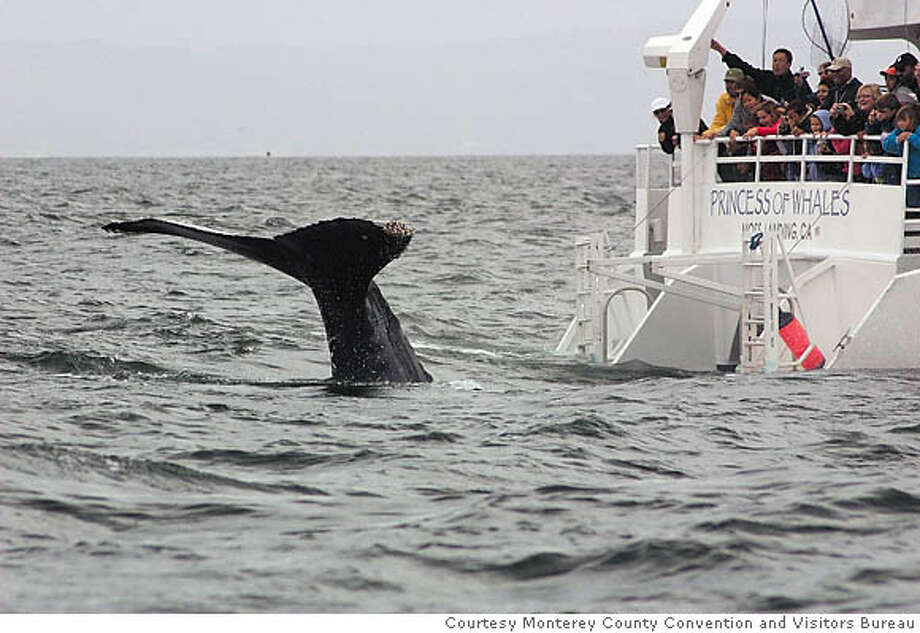 Monterey Bay is potluck for whale-watching boats, which more often encounter humpback and killer whales than their blue cousins. Photo courtesy of Monterey County Convention and Visitors Bureau