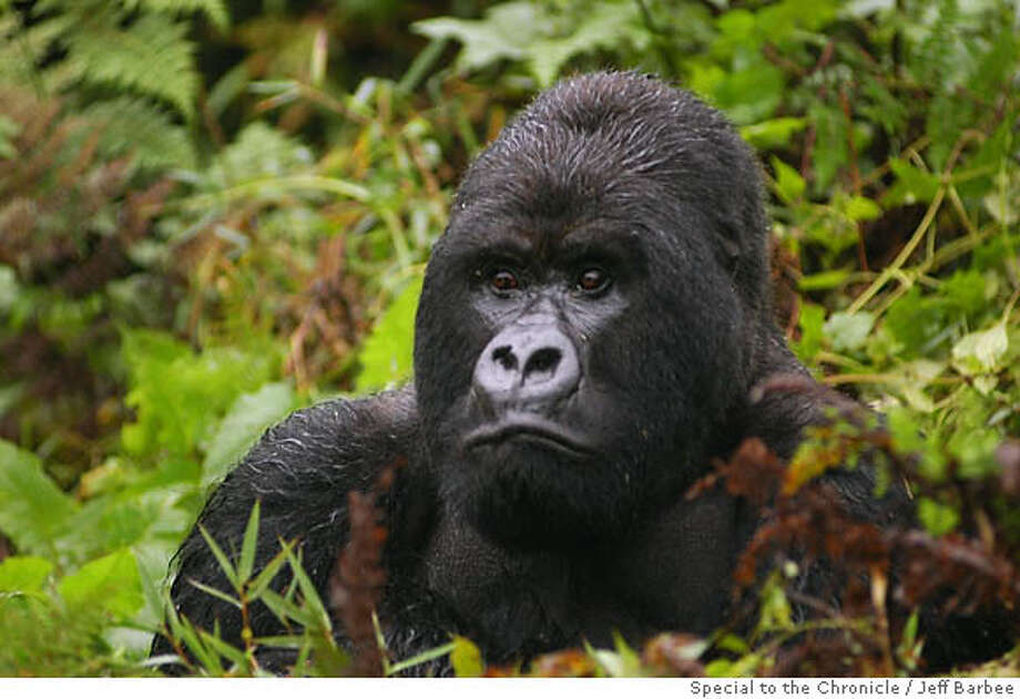 Resettlement: A gorilla lives where Rwanda's Giswati Forest stood before its destruction by refugees after the genocide in 1994. Virunga National Park and its gorillas, in contrast, fared relatively well. Photo by Jeff Barbee, special to the Chronicle