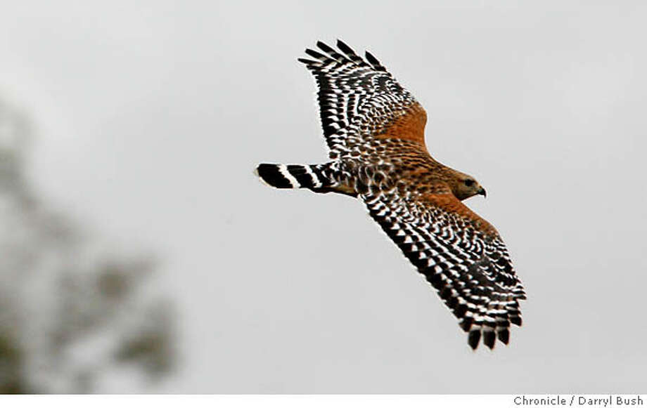 A red-shouldered hawk, much like the one that swooped down on a garter snake at the San Francisco Botanical Garden at Strybing Arboretum, soars through the air. Chronicle photo by Darryl Bush