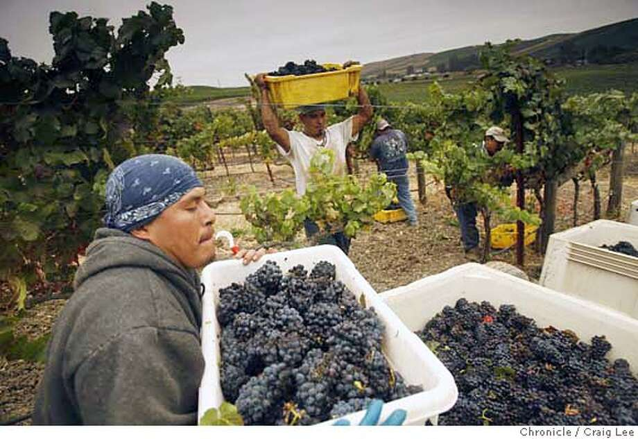 HARVEST15_549_cl.JPG  Grape harvest at Domiane Carneros. They are harvesting Pinot Noir for their sparkling wines.  Craig Lee / The Chronicle MANDATORY CREDIT FOR PHOTOG AND SF CHRONICLE/ -MAGS OUT Photo: Craig Lee