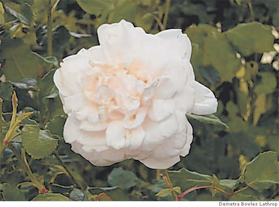 39 madame alfred carriere 39 rose tough rose perfect for s f. Black Bedroom Furniture Sets. Home Design Ideas