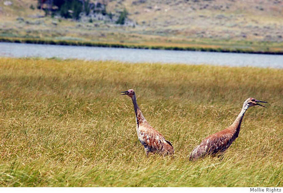 Sandhill cranes are getting ready to migrate from their summer home in Yellowstone National Park. Credit: Mollie Rights Photo: Mollie Rights