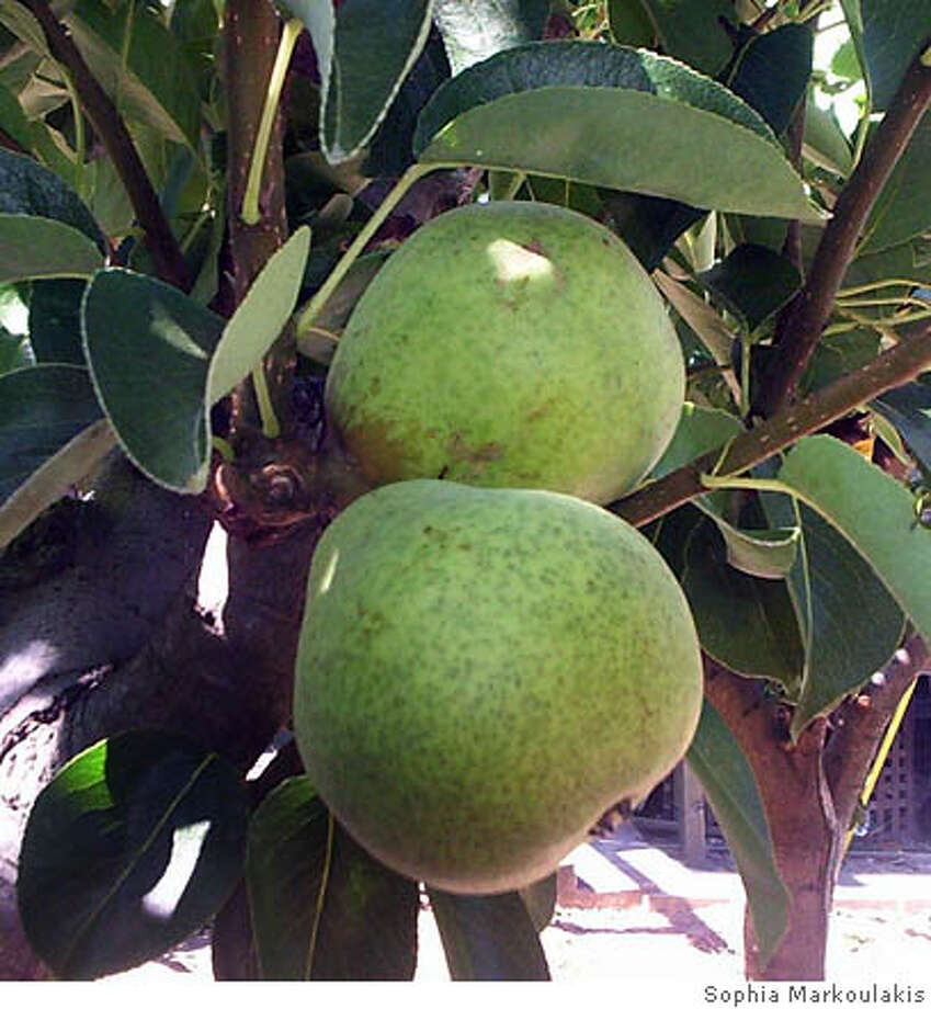 Bartlett pears are best kept on the tree until needed. Photo by Sophia Markoulakis