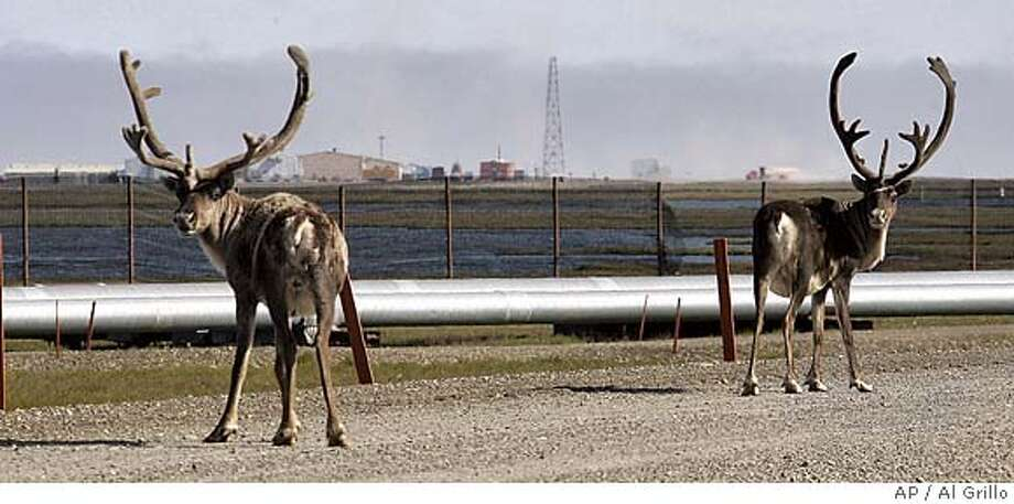 Two caribou pause as they walk down a road at the Prudhoe Bay oil field on Alaska's North Slope Friday, Aug. 4, 2006. The hundreds of caribou that wander around the oil field have the right away and are not allowed to be interfered with. Vehicles are prohibited from honking their horns and have to yield to the animals and wait for them to leave the road. (AP Photo/Al Grillo) STAND ALONE Photo: AL GRILLO