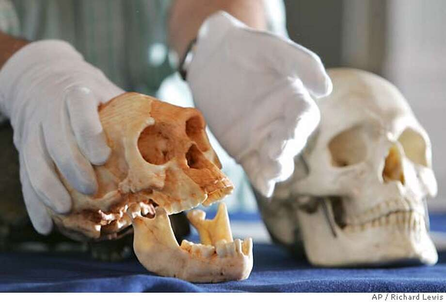 Professor Chris Stringer, Head of Human Origins at London's Natural History Museum, moves a cast taken from the a skull of what is said to be a new species in the evolution of man named 'Homo Floresiensis' during a news conference Wednesday Oct. 27, 2004. At right is a cast of Homo Sapiens skull. (AP Photo/Richard Lewis) Photo: RICHARD LEWIS