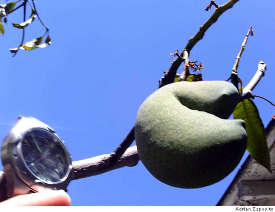 This is a photo of what I believe is the only fruiting mango tree in Hayward, if not the Bay Area. Photo by Adrian Escoto