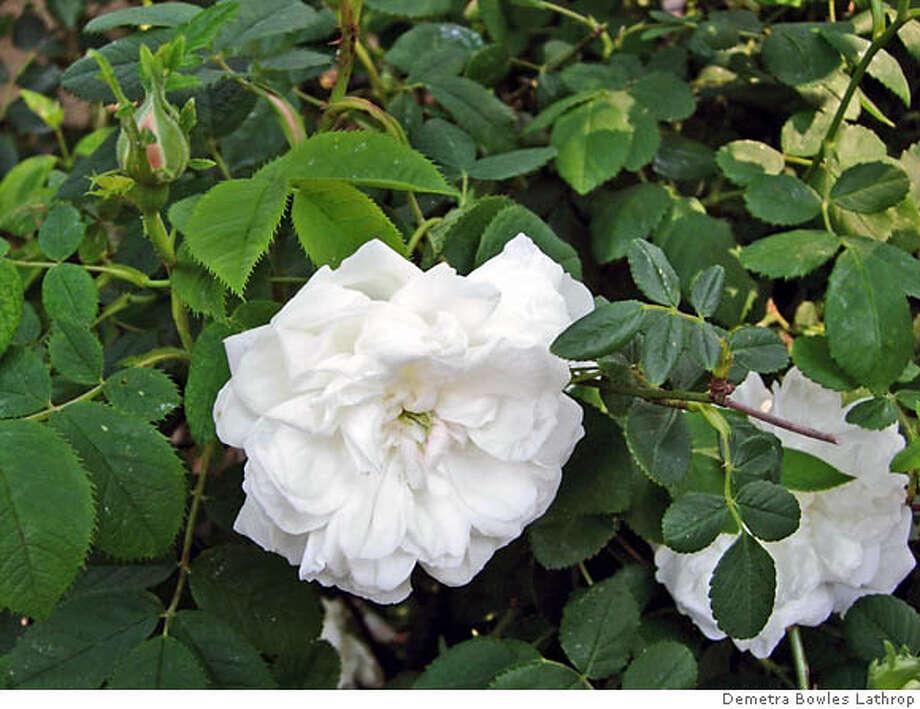 'Madame Plantier' rose. Credit: Demetra Bowles Lathrop Photo: Demetra Bowles Lathrop